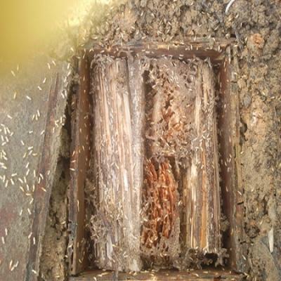 白蚁除了吃木头还吃什么